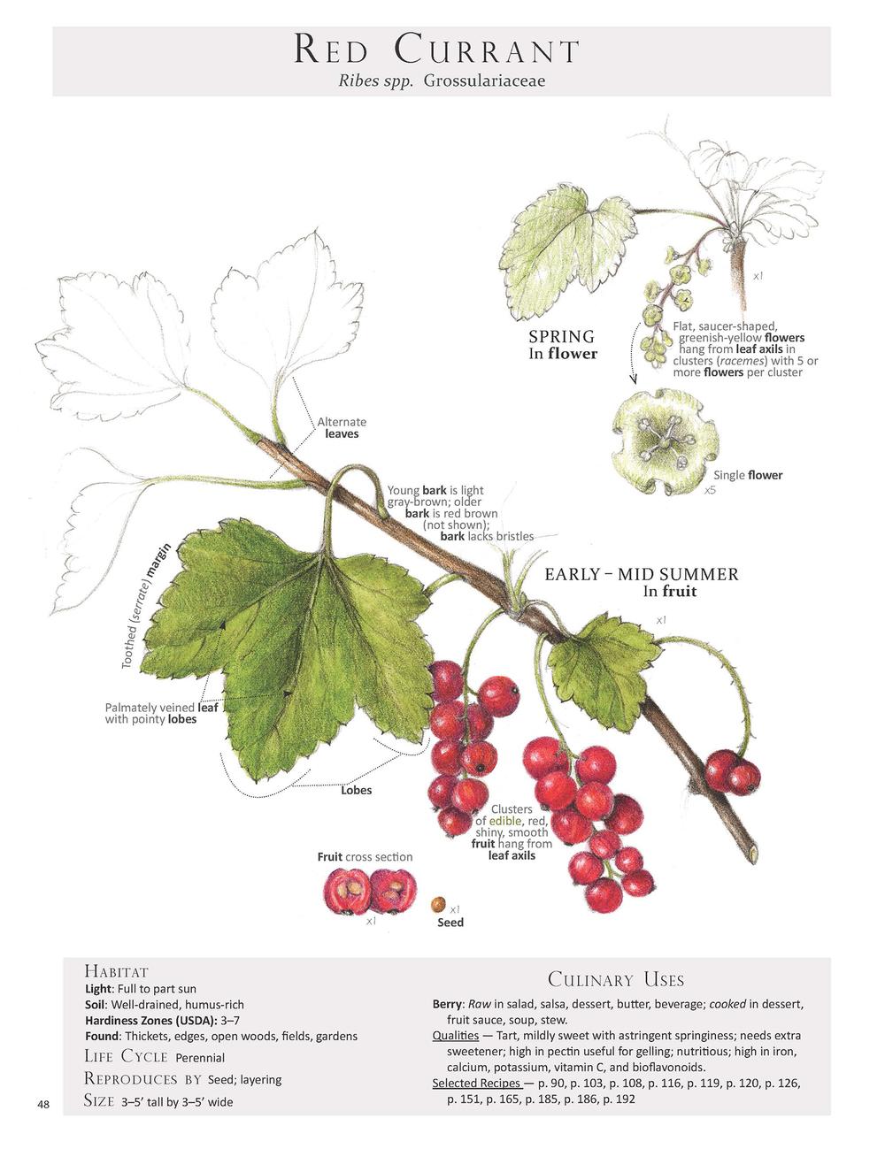 Red Currant - Ribes spp