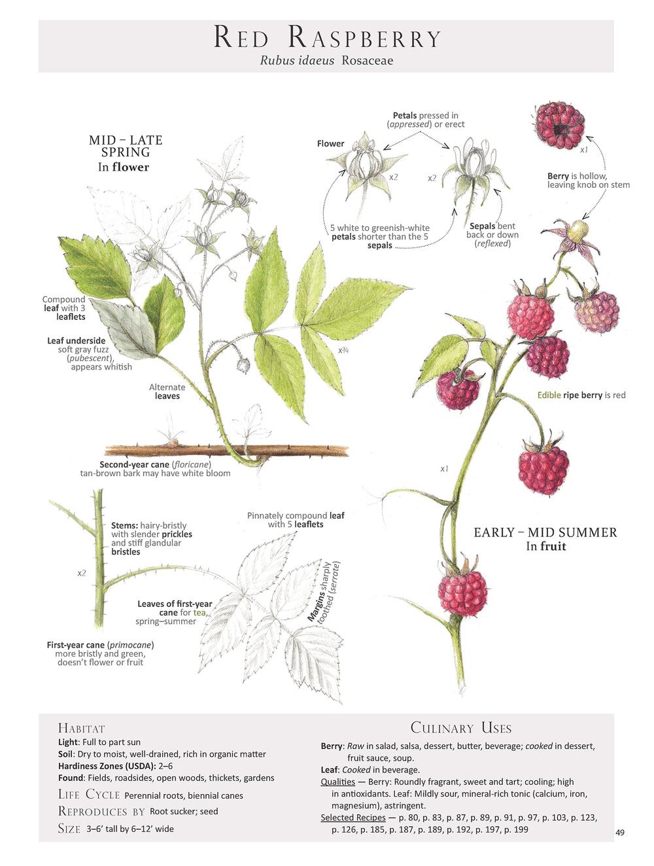 Red Raspberry - Rubus idaeus