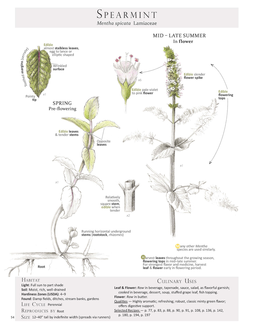 Spearmint - Mentha spicata