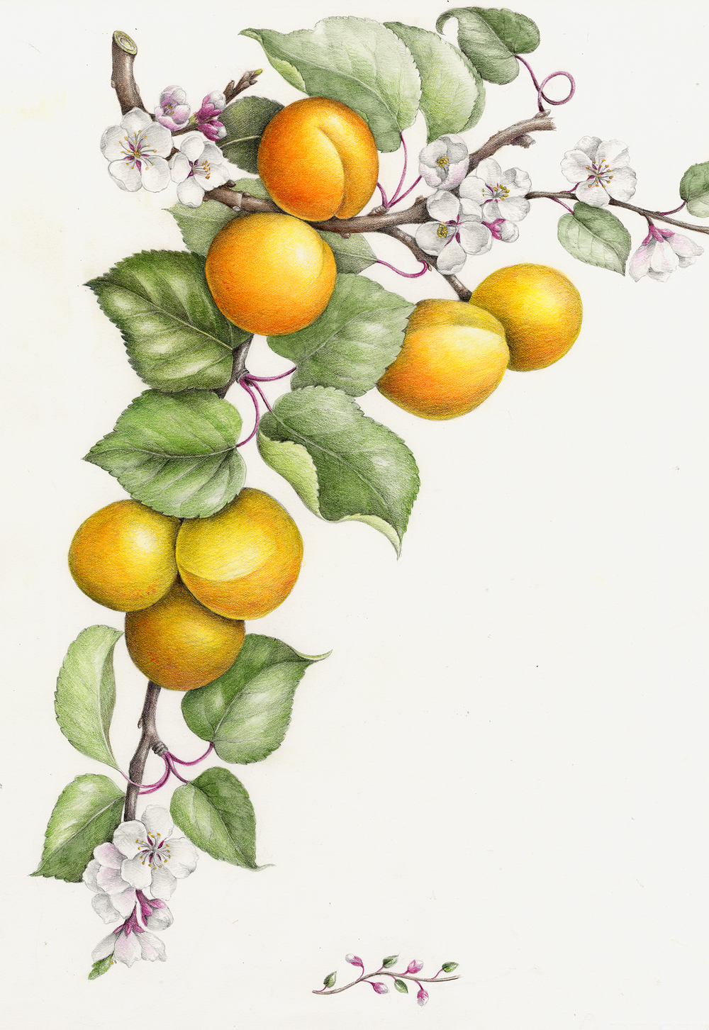 Fruits Vegetables Botanical Artist Illustrator Learn To Draw