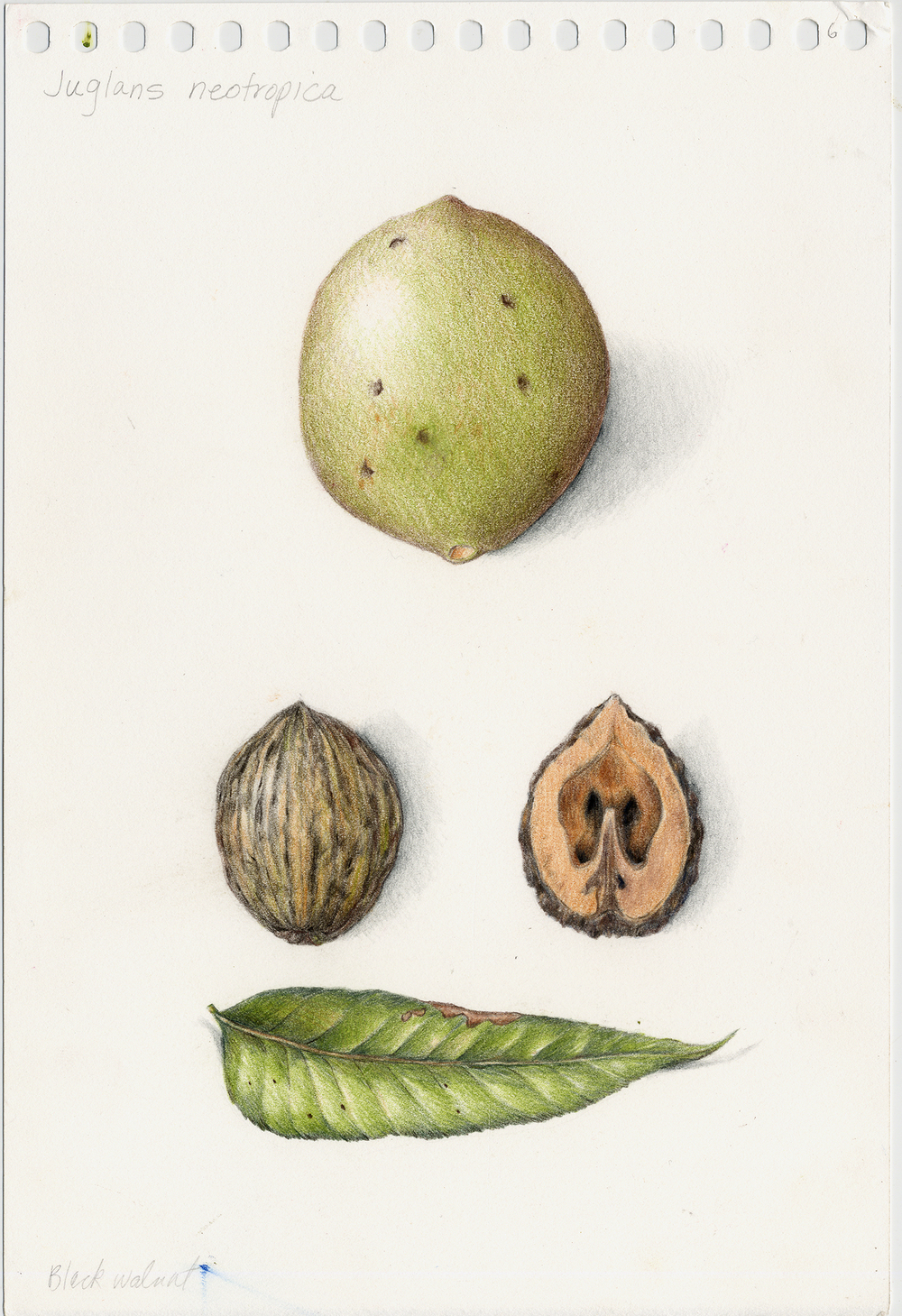 Fruits Amp Vegetables Gallery Full Botanical Artist