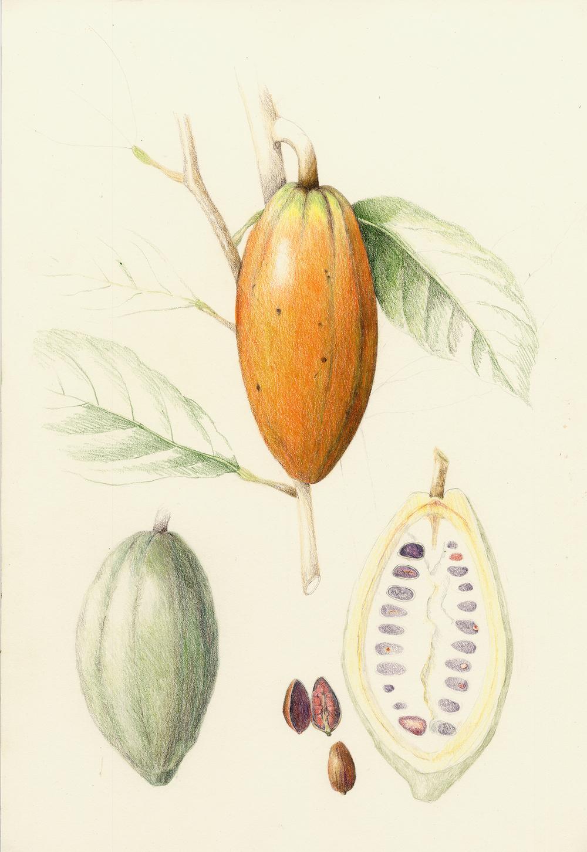 Cacao - Theobroma cacao