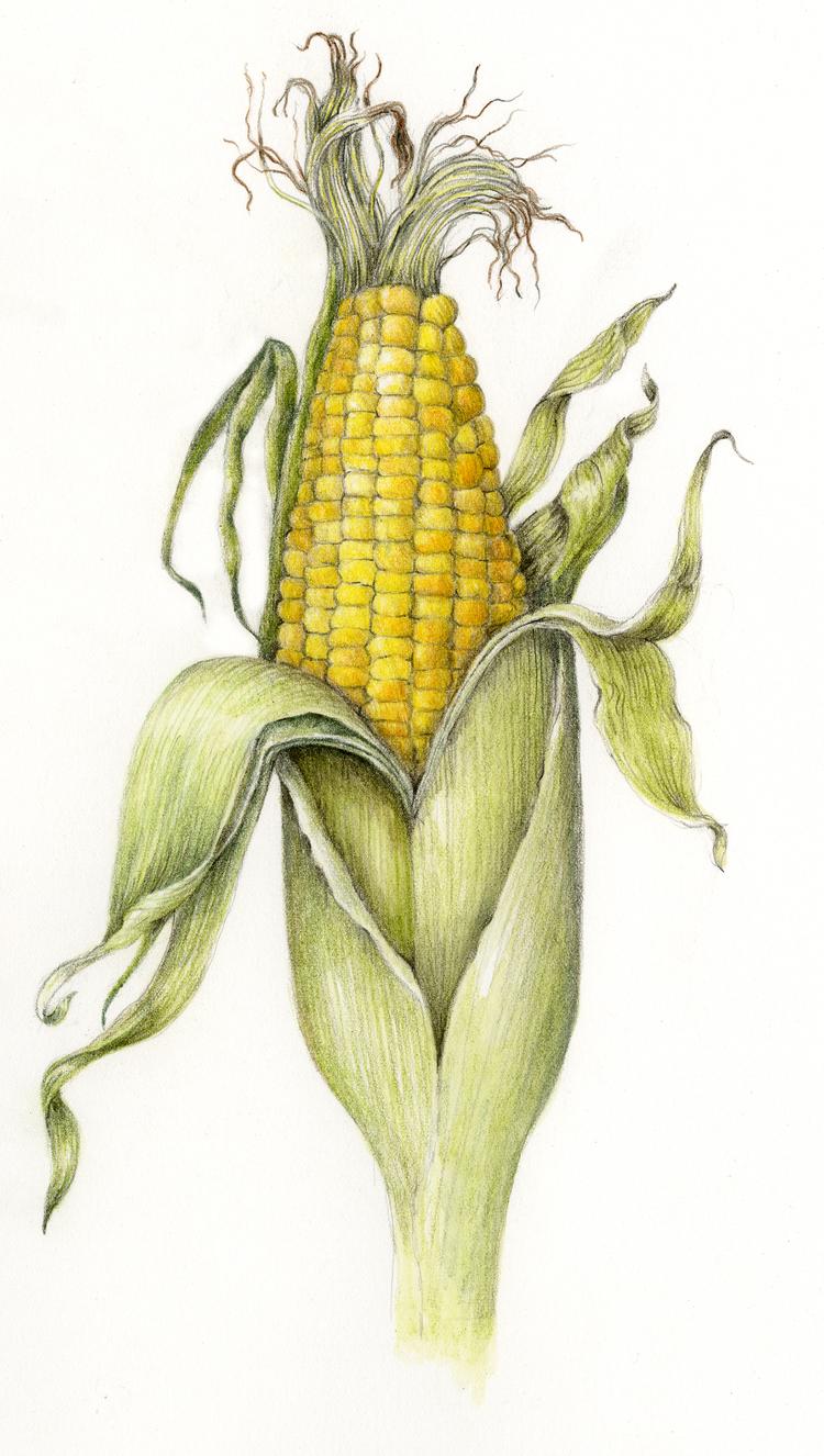 fruits u0026 vegetables gallery u2014 botanical artist u0026 illustrator