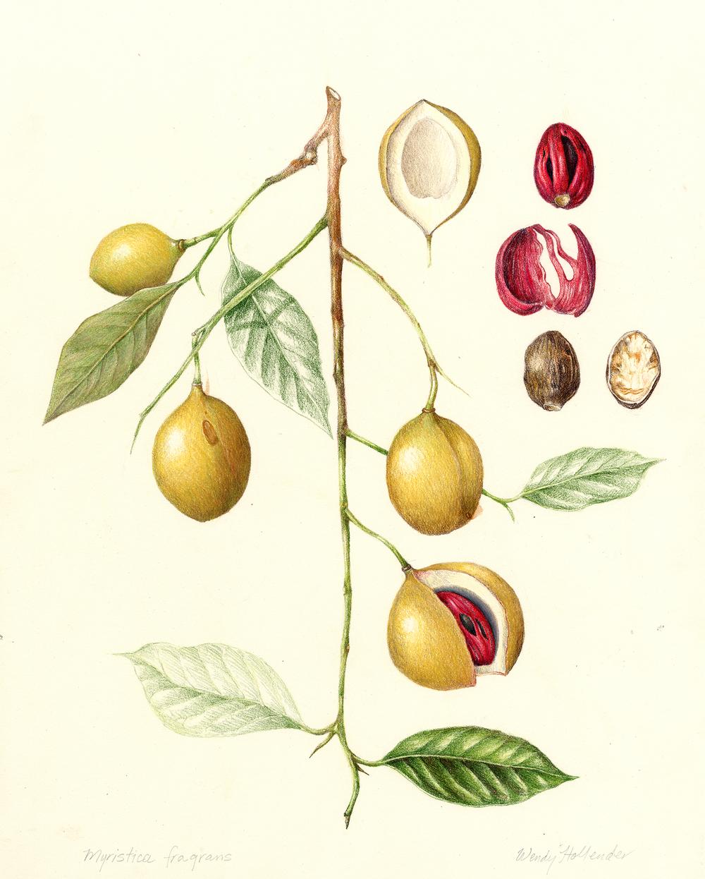 Fruits vegetables gallery full botanical artist - Noix de muscade cuisine ...