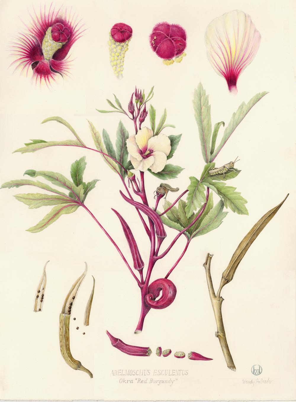 Okra - Abelmoschus esculentus