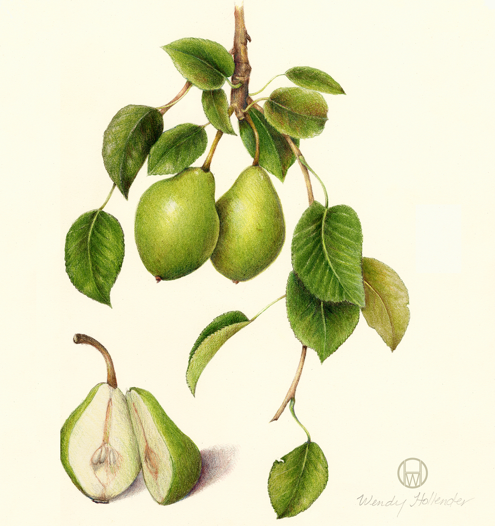 Pear - Pyrus