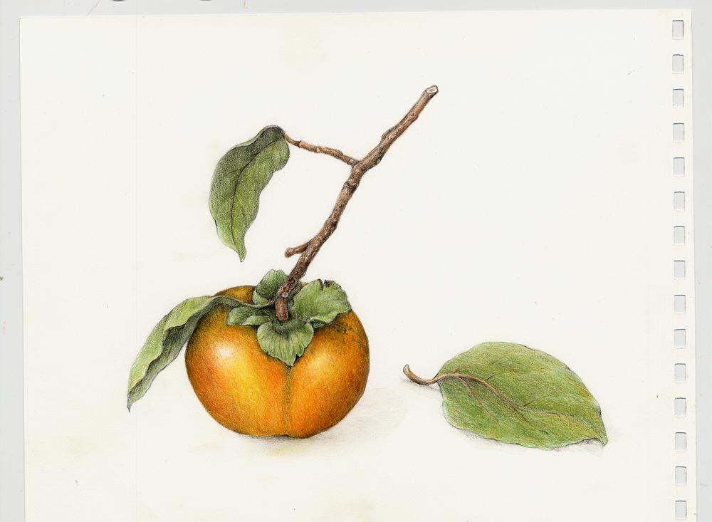 Persimmon - Diospyros virginiana