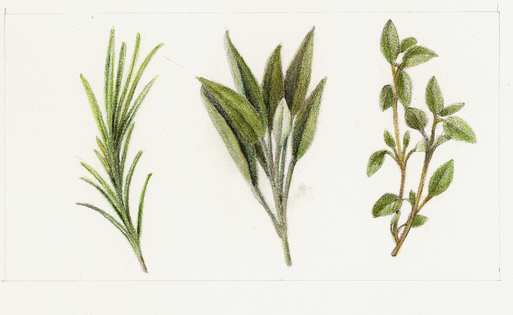 Rosemary Flower Drawing