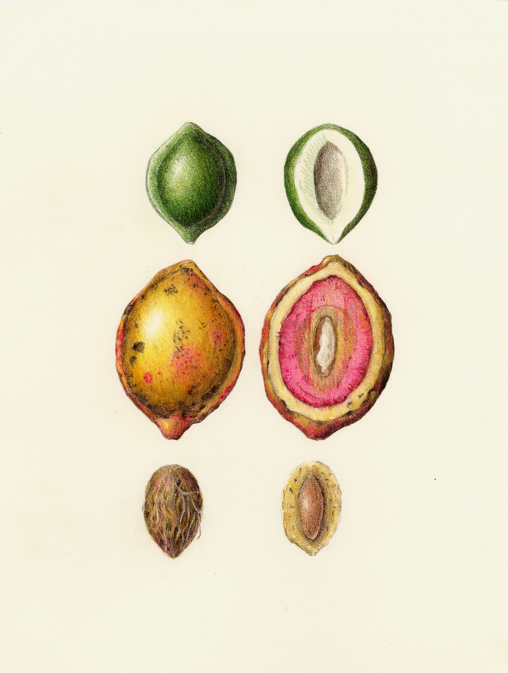 Tropical Almond Fruit - Terminalia catappa