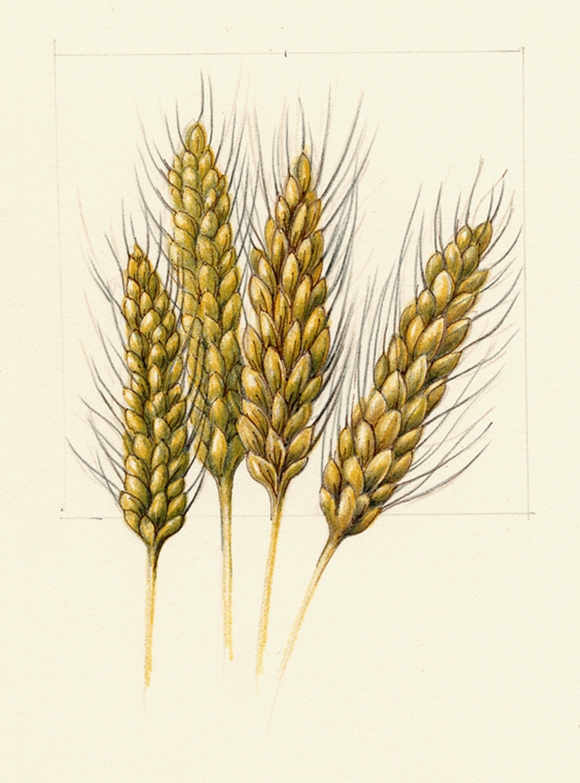 Синяя, пшеница картинки нарисованные