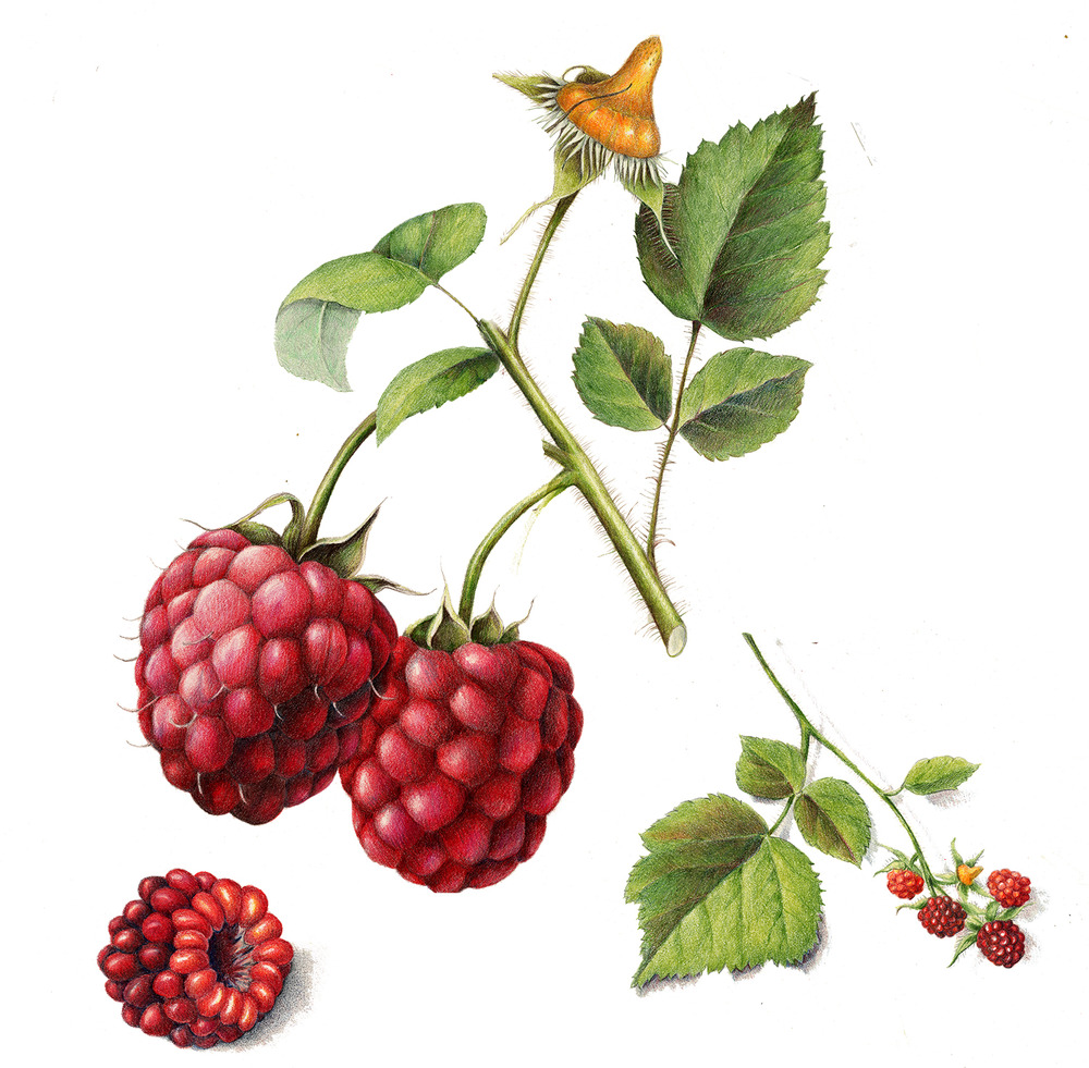 Wild Raspberry - Rubus occidentalis