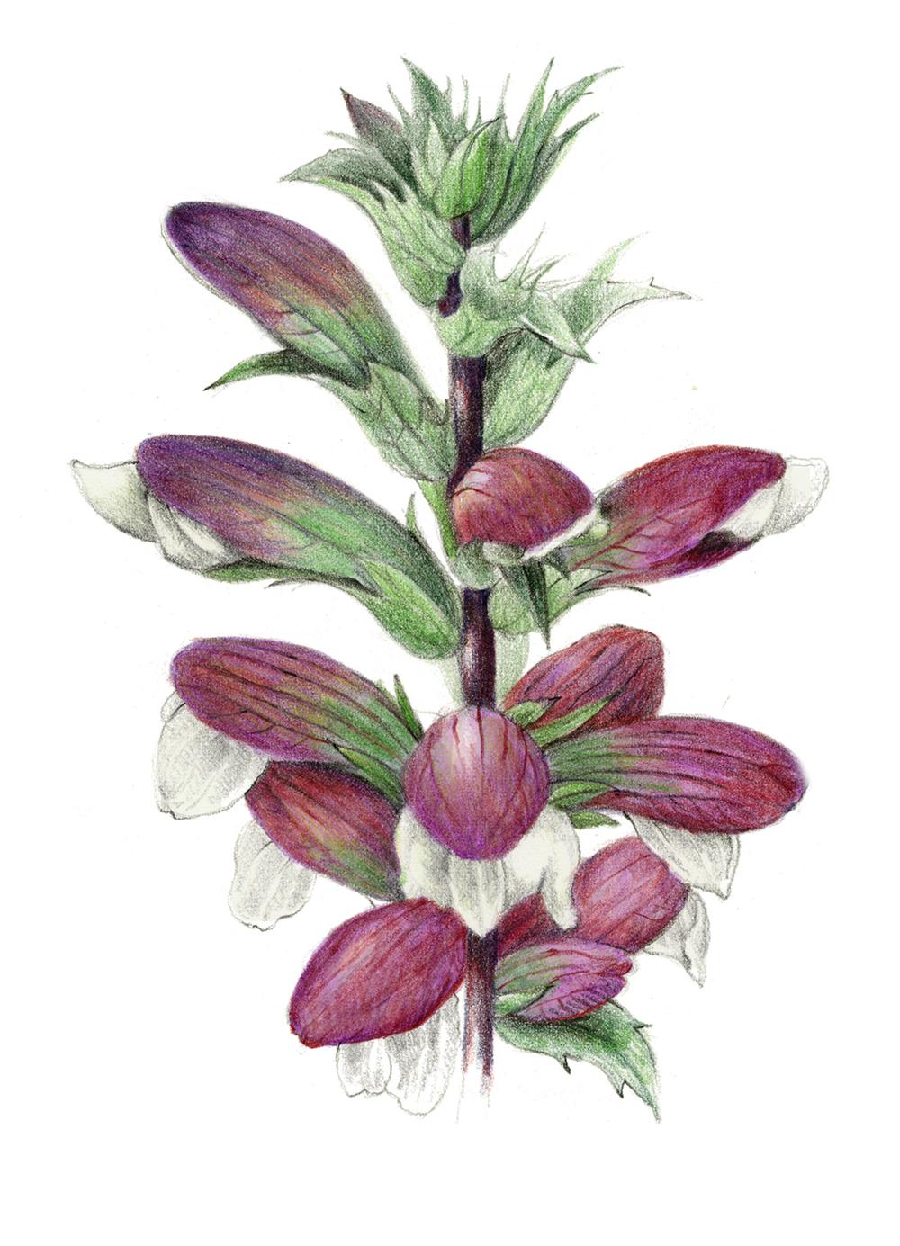 Acanthus - Acanthus balcanicus