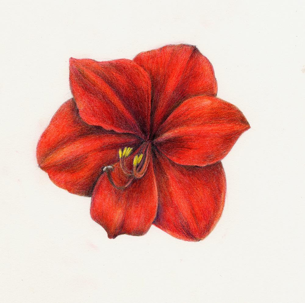 Amaryllis - Amaryllis belladonna