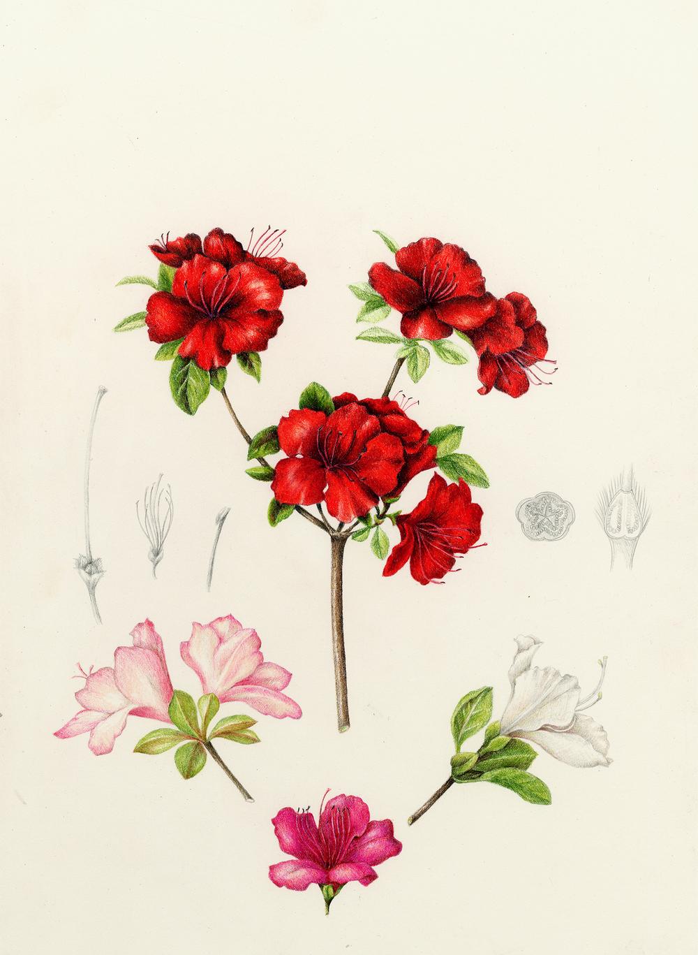 Azalea - Rhododendron