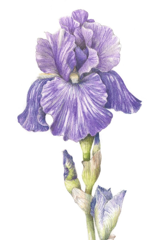 Flowers gallery botanical artist illustrator learn to draw art bearded iris iris hybrida izmirmasajfo
