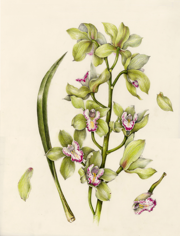 Boat Orchid - Cymbidium