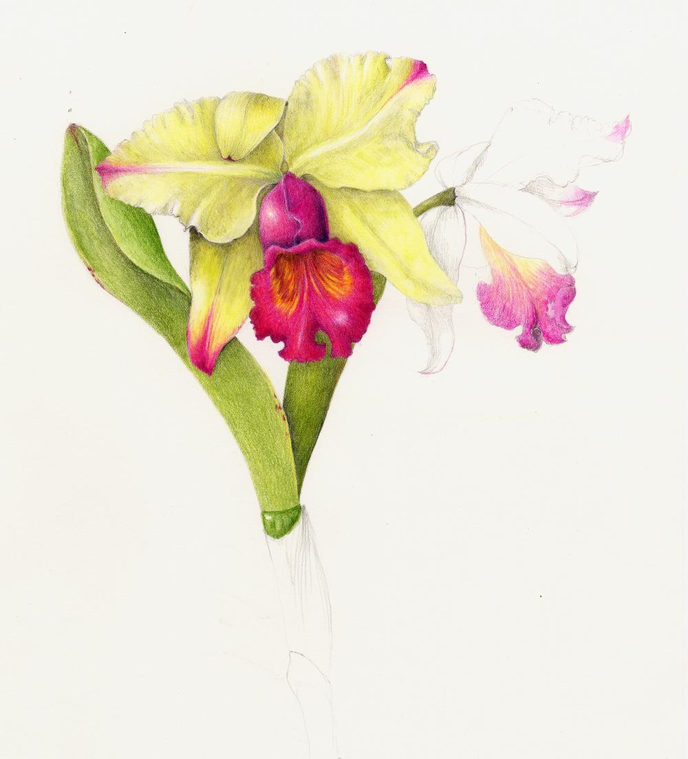 Cattleya Orchid - Cattleya labiata