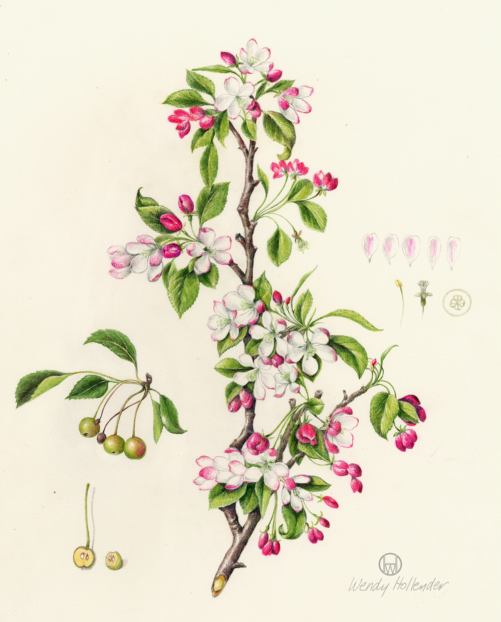 Crab Apple - Malus floribunda