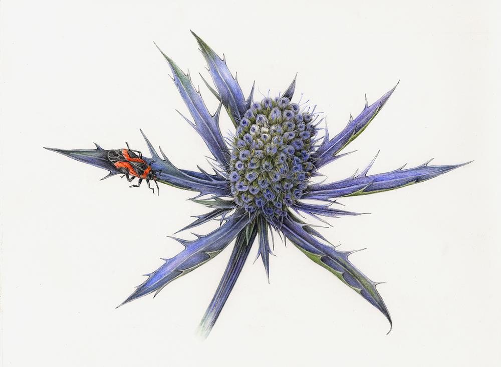 Eryngium - Eryngium