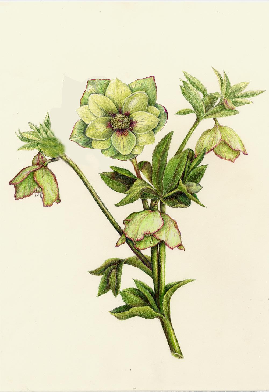 Hellebore - Hellebore orientalis