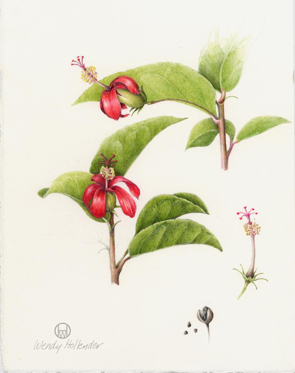Hibiscus Clay's