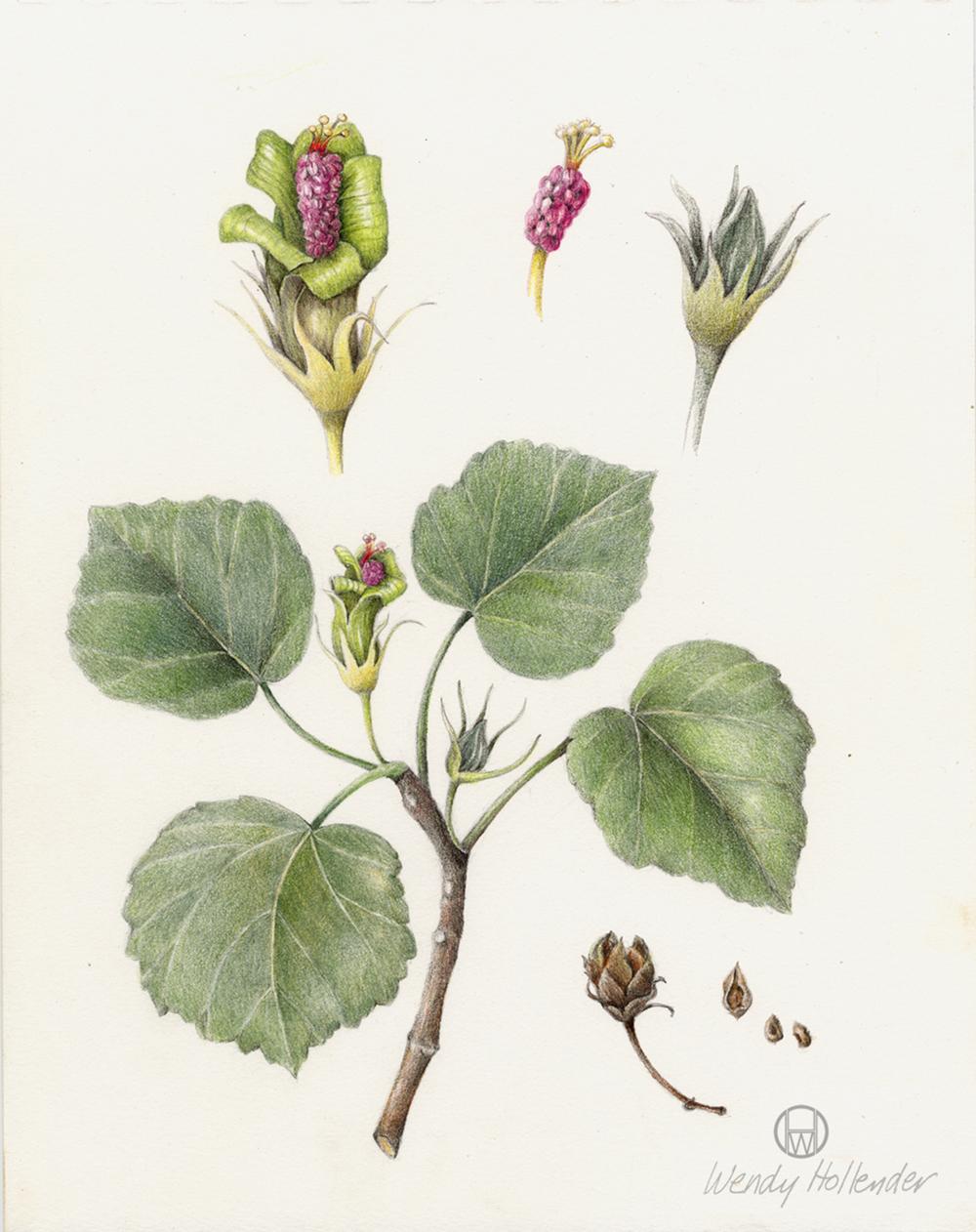 Hibiscus Hau Kuahiwi - Hibiscadelphus distans
