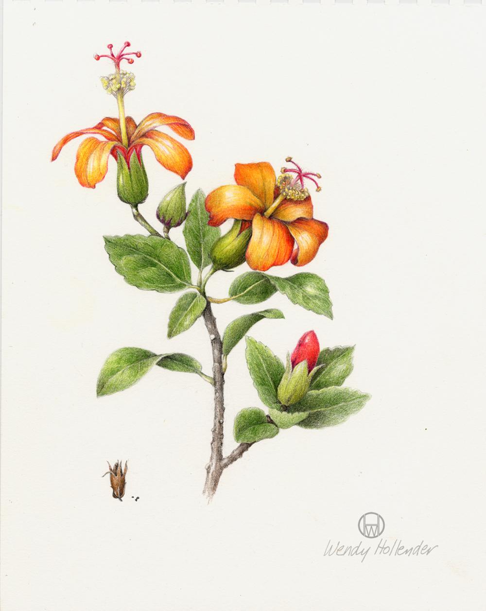 Hibiscus Kokio - Hibiscus kokio