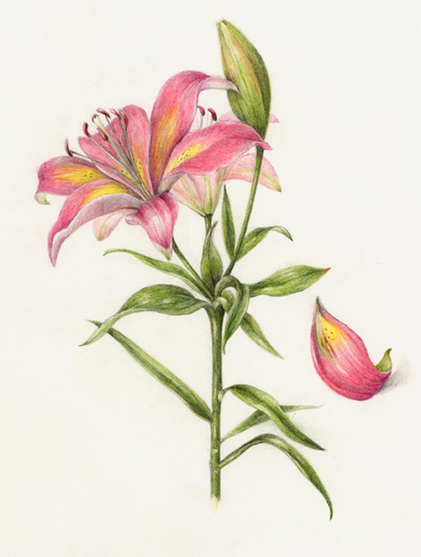 Lily - Lilium