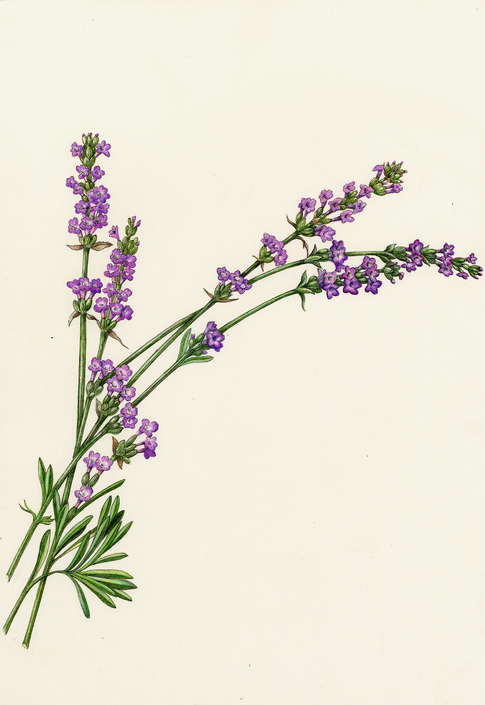 Lavender Plant Drawing Flowers Gallery Full �...