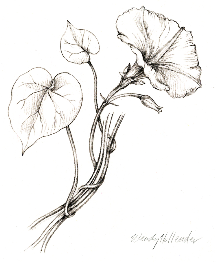 Flowers gallery botanical artist illustrator learn to draw art morning glory mightylinksfo