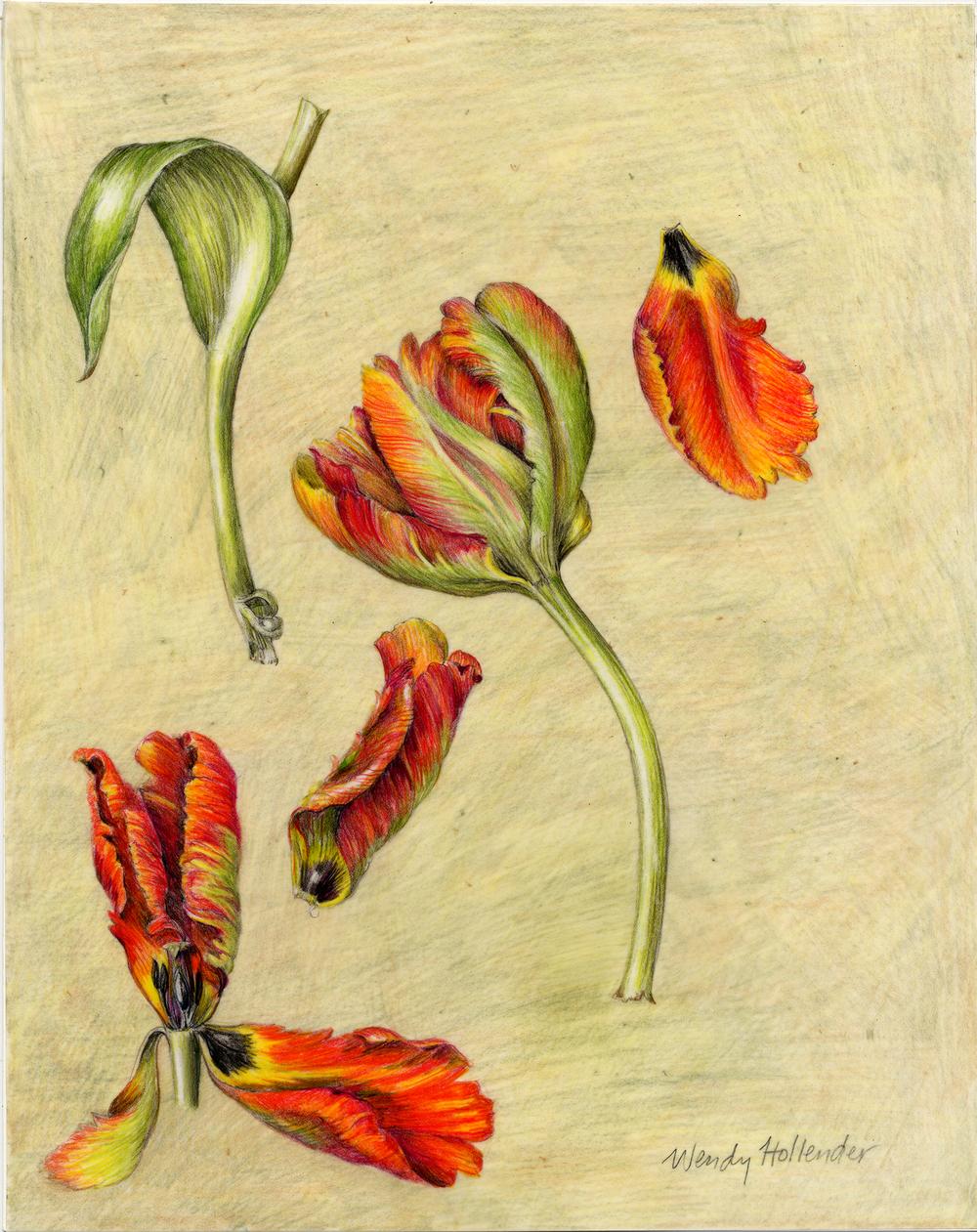 Parrot Tulip - Tulipa