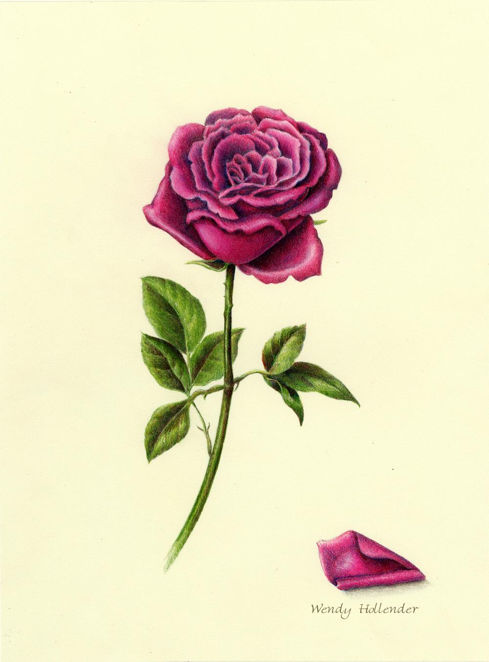 Pink Rose - Rosa carolinae