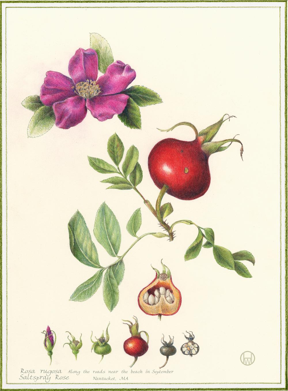 Flowers Gallery Full — Botanical Artist & Illustrator ...