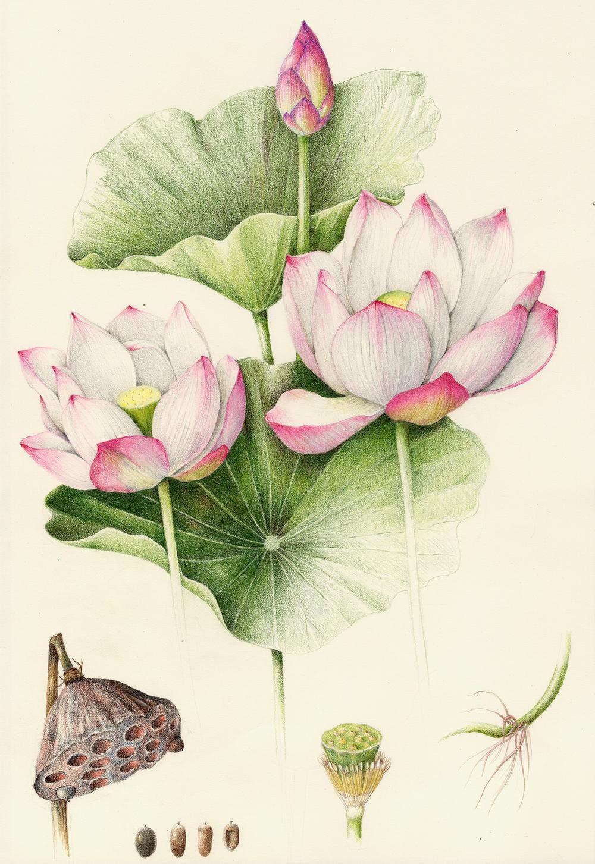 Sacred Lotus - Nelumbo nucifera