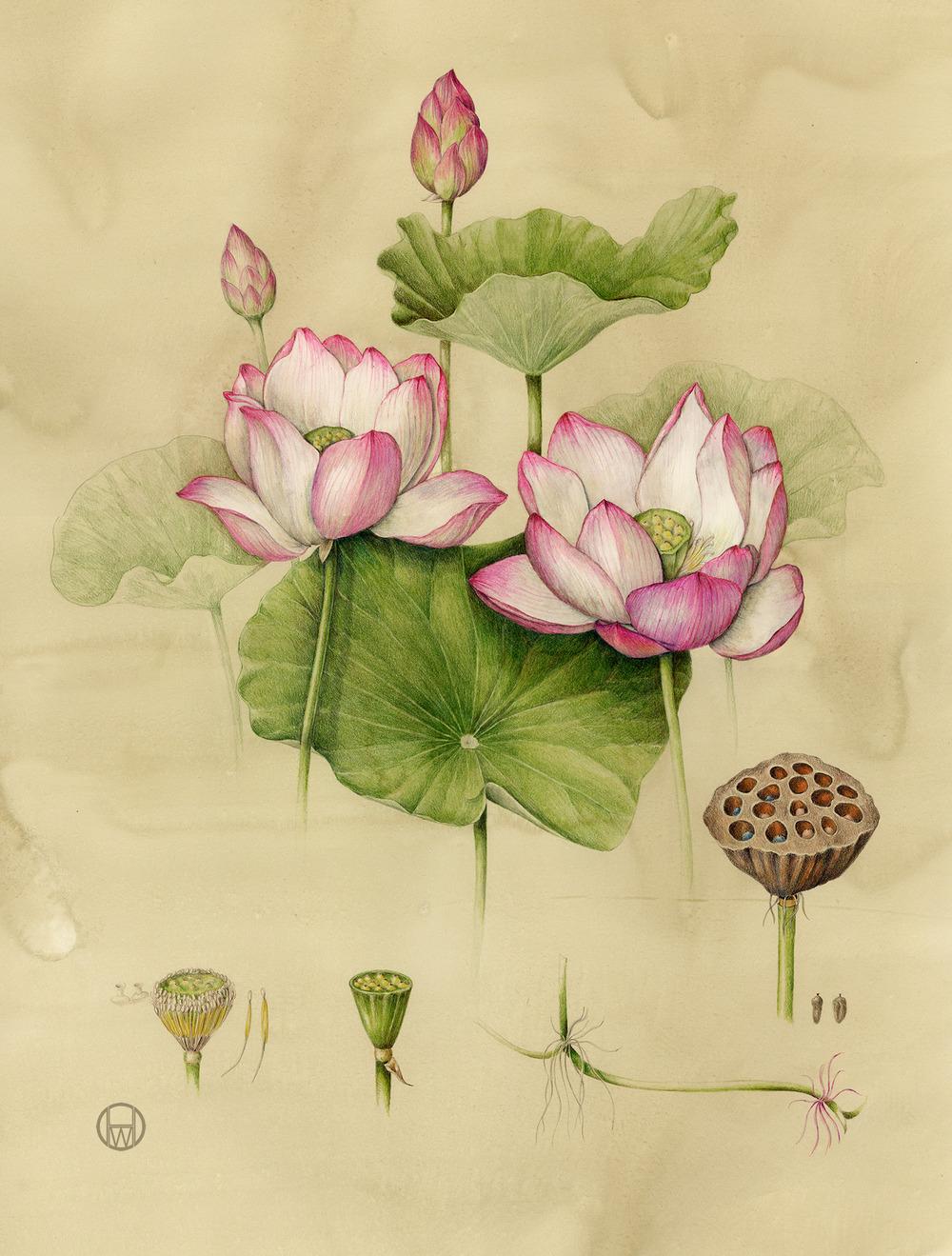 Sacred Lotus 2