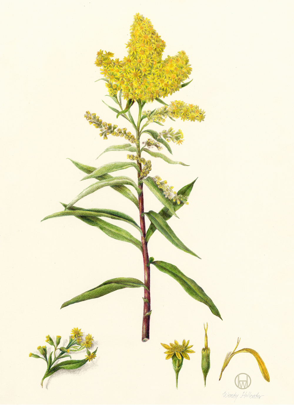 Seaside Goldenrod - Solidago sempervirens