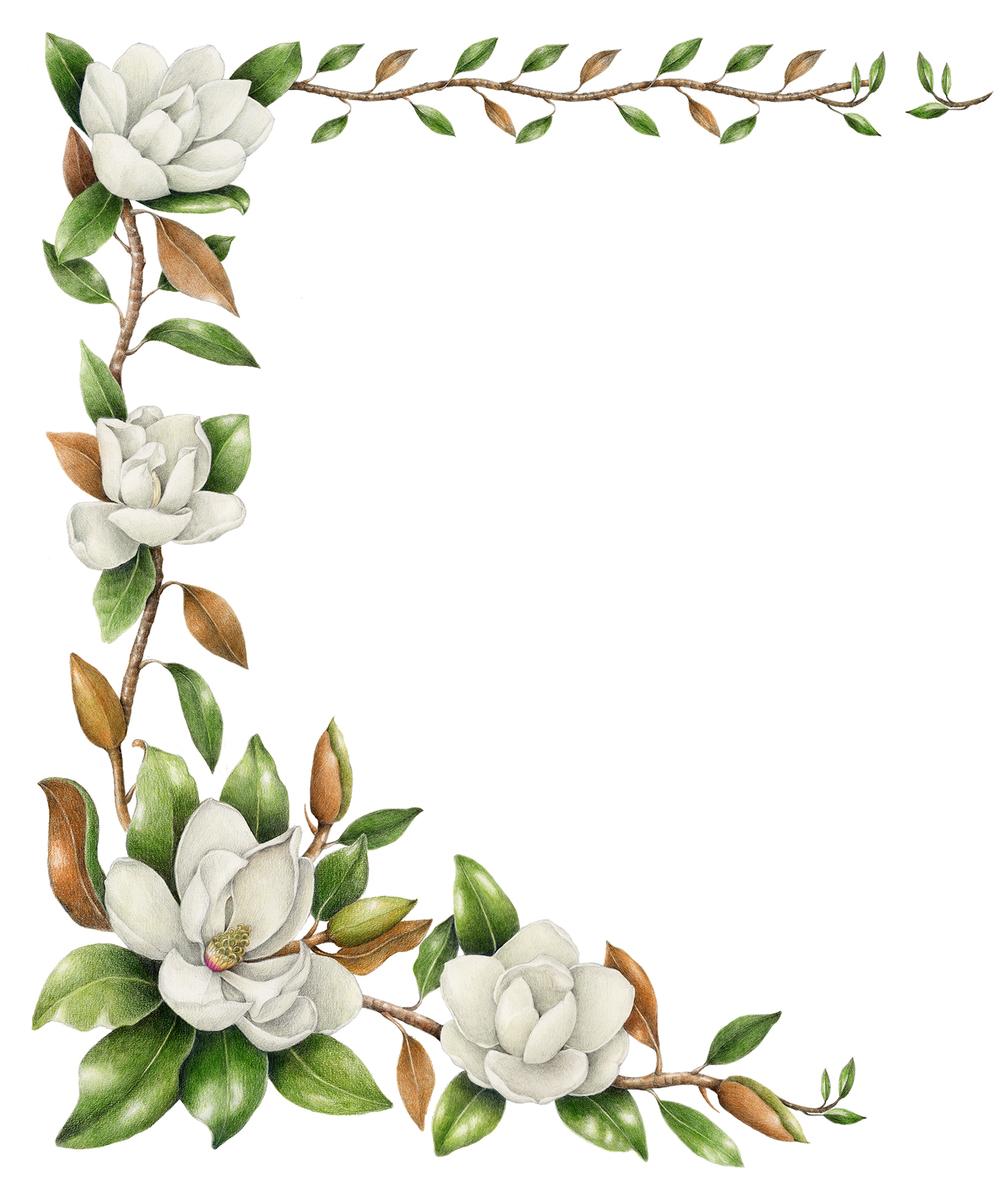 Southern Magnolia - Magnolia grandiflora