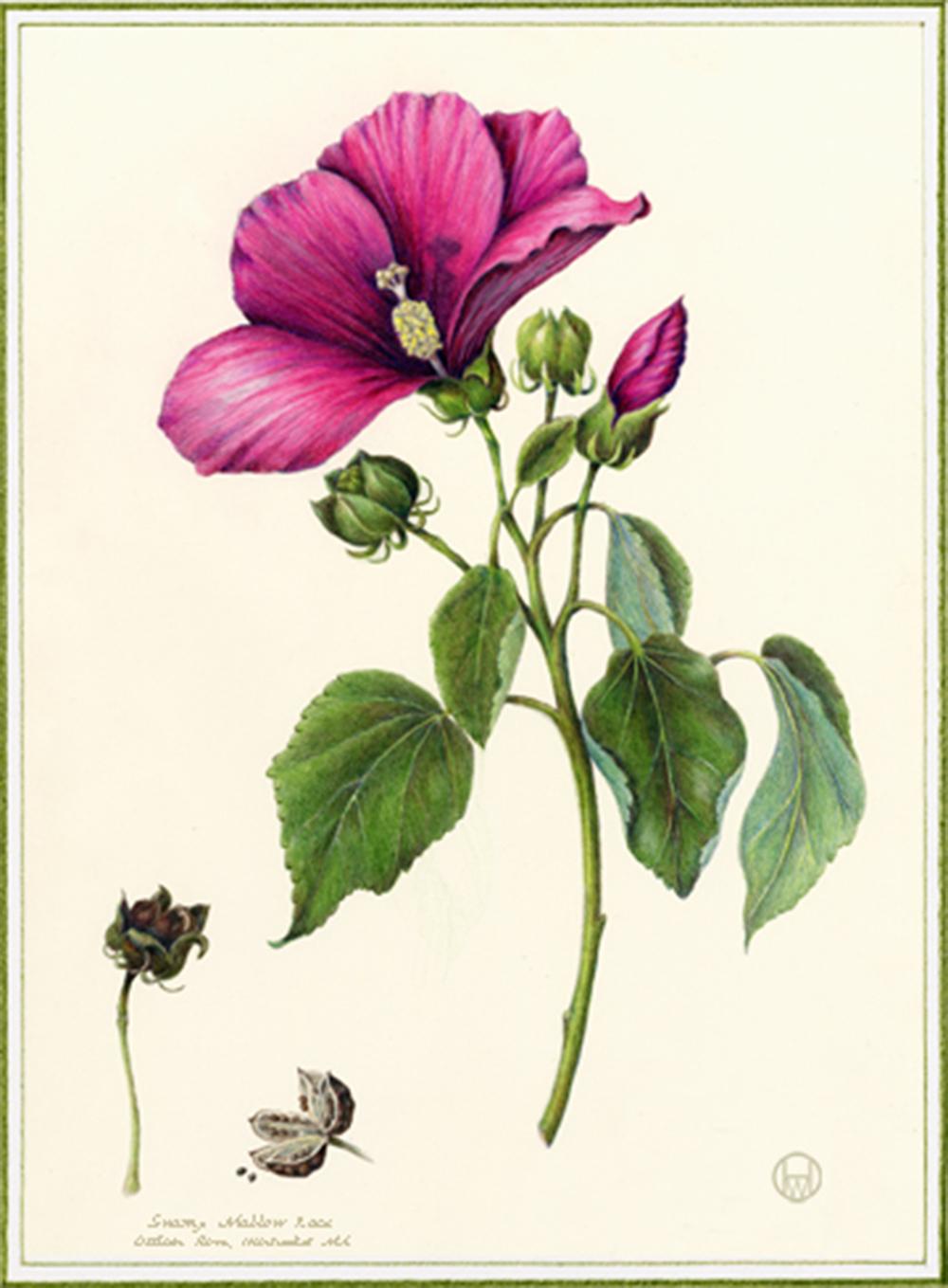 Swamp Mallow - Hibiscus moschetos