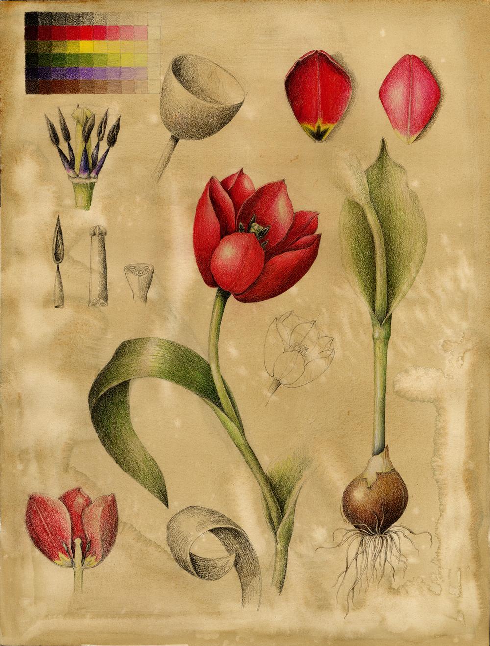 Tulip - Tulipa