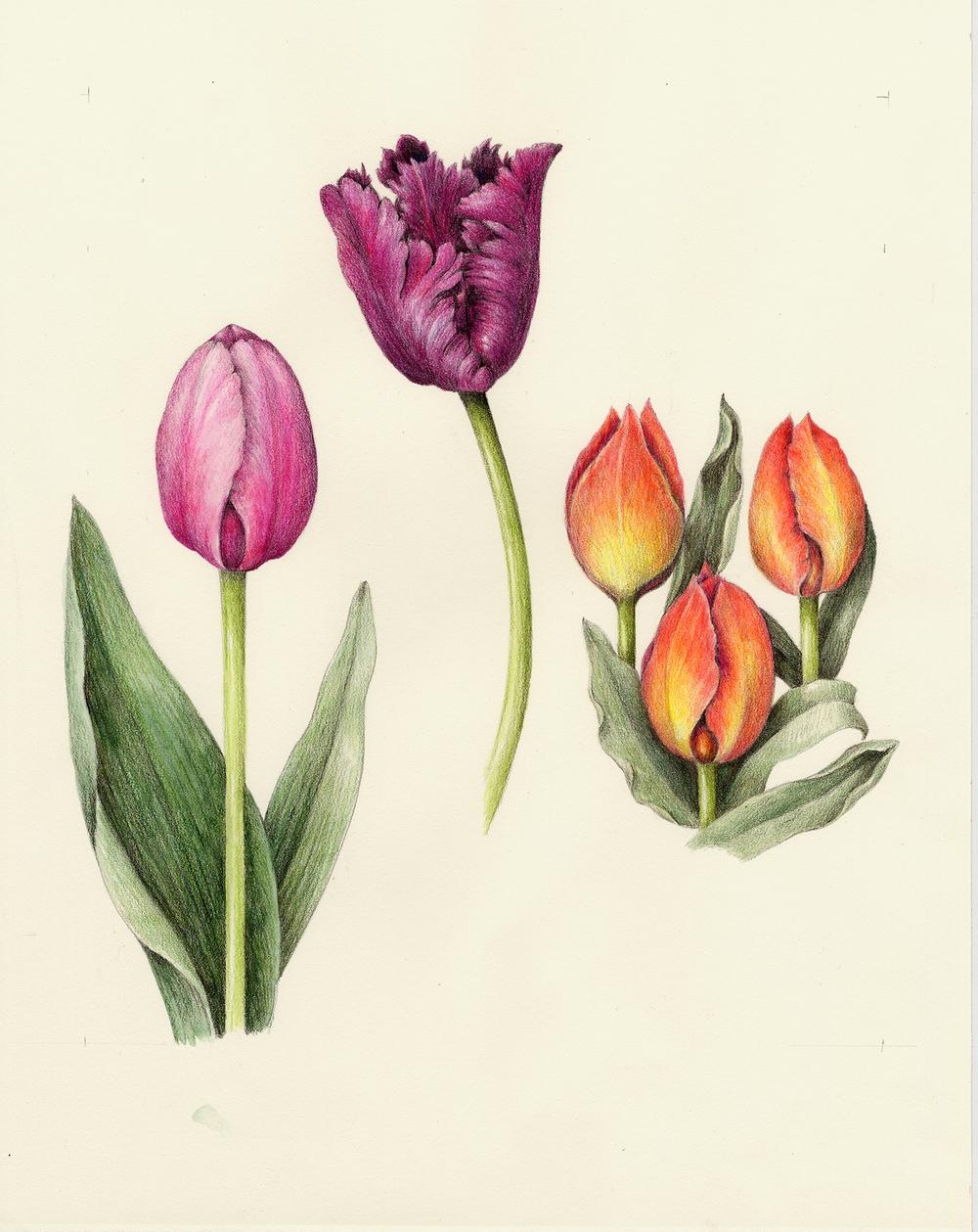 Flowers botanical artist illustrator learn to draw art books tulip tulipa izmirmasajfo