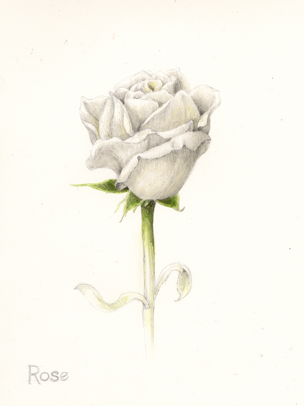 White Rose - Rosa carolina