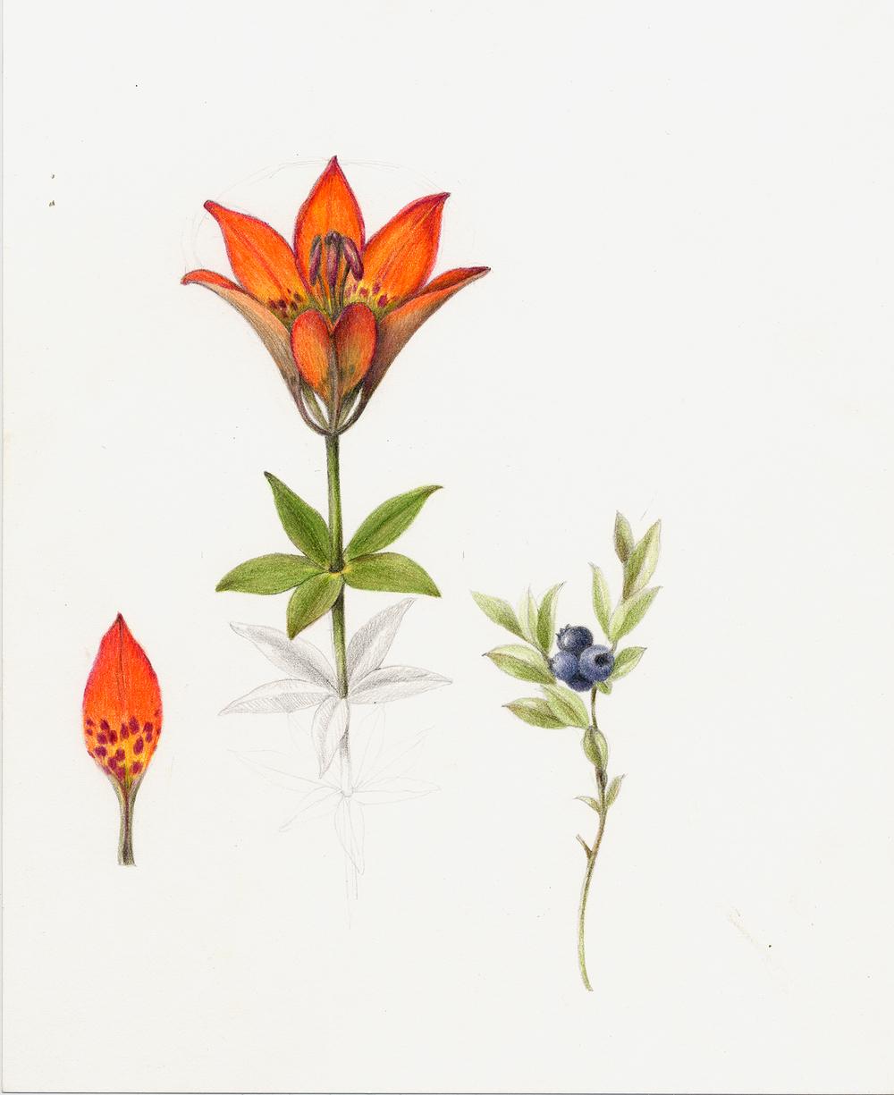 Wood Lily - Lilium philadelphicum