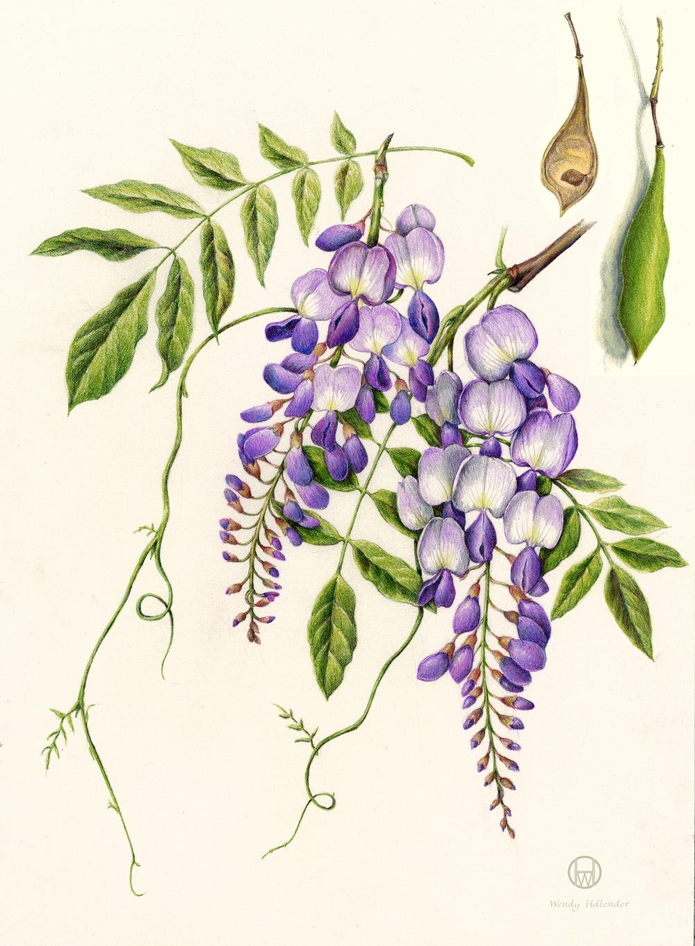 Wisteria - Wisteria sinensis