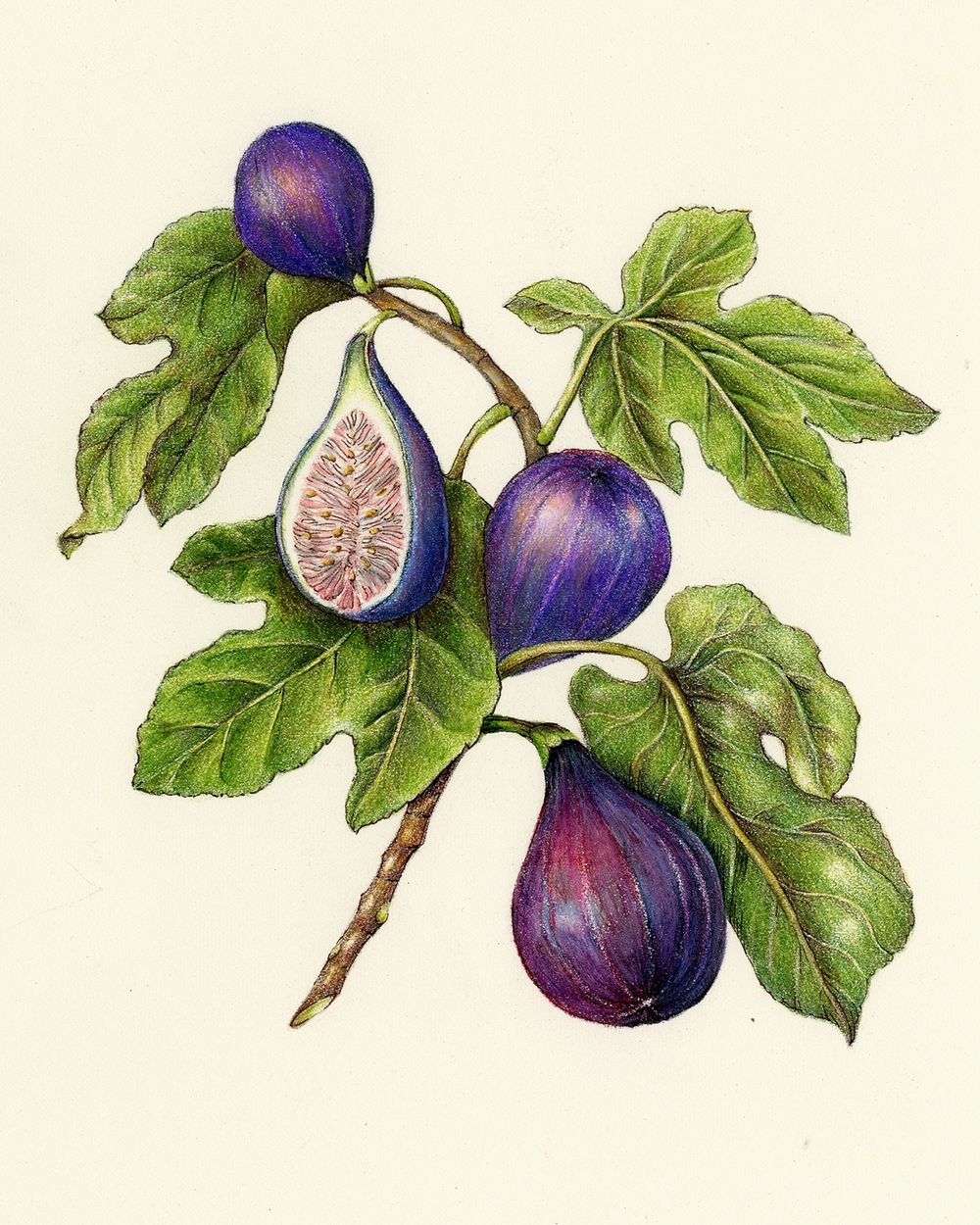 Fruits & Vegetables Gallery — Botanical Artist & Illustrator, Learn ...