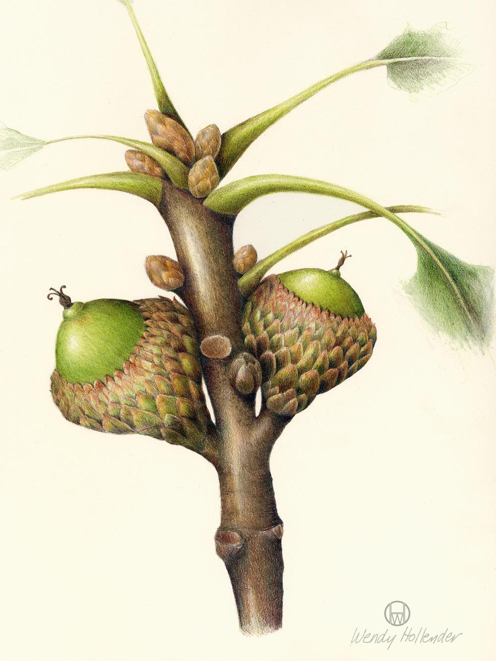 Acorn - Quercus