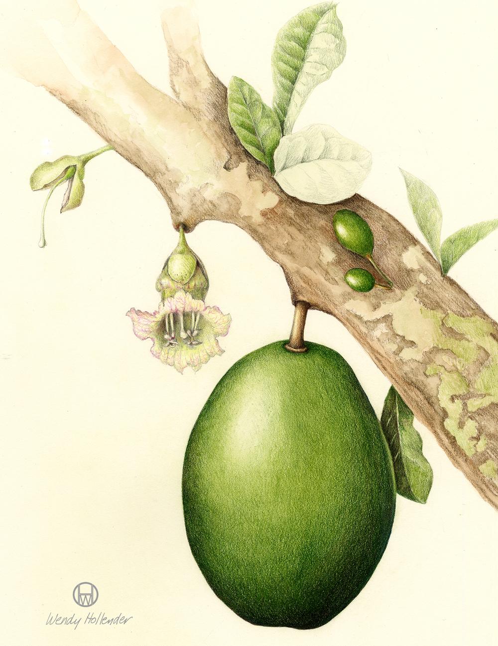 Calabash - Lagenaria siceraria