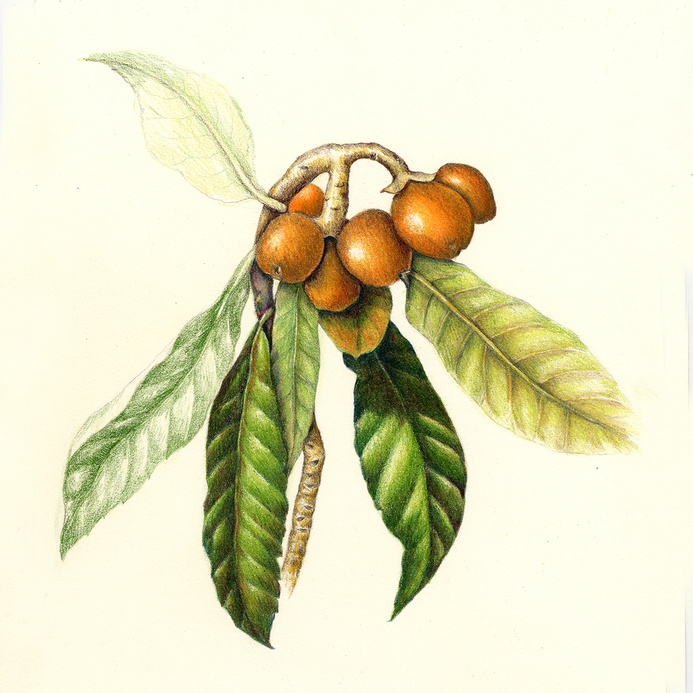 Medlar Tree - Mespilus germanica