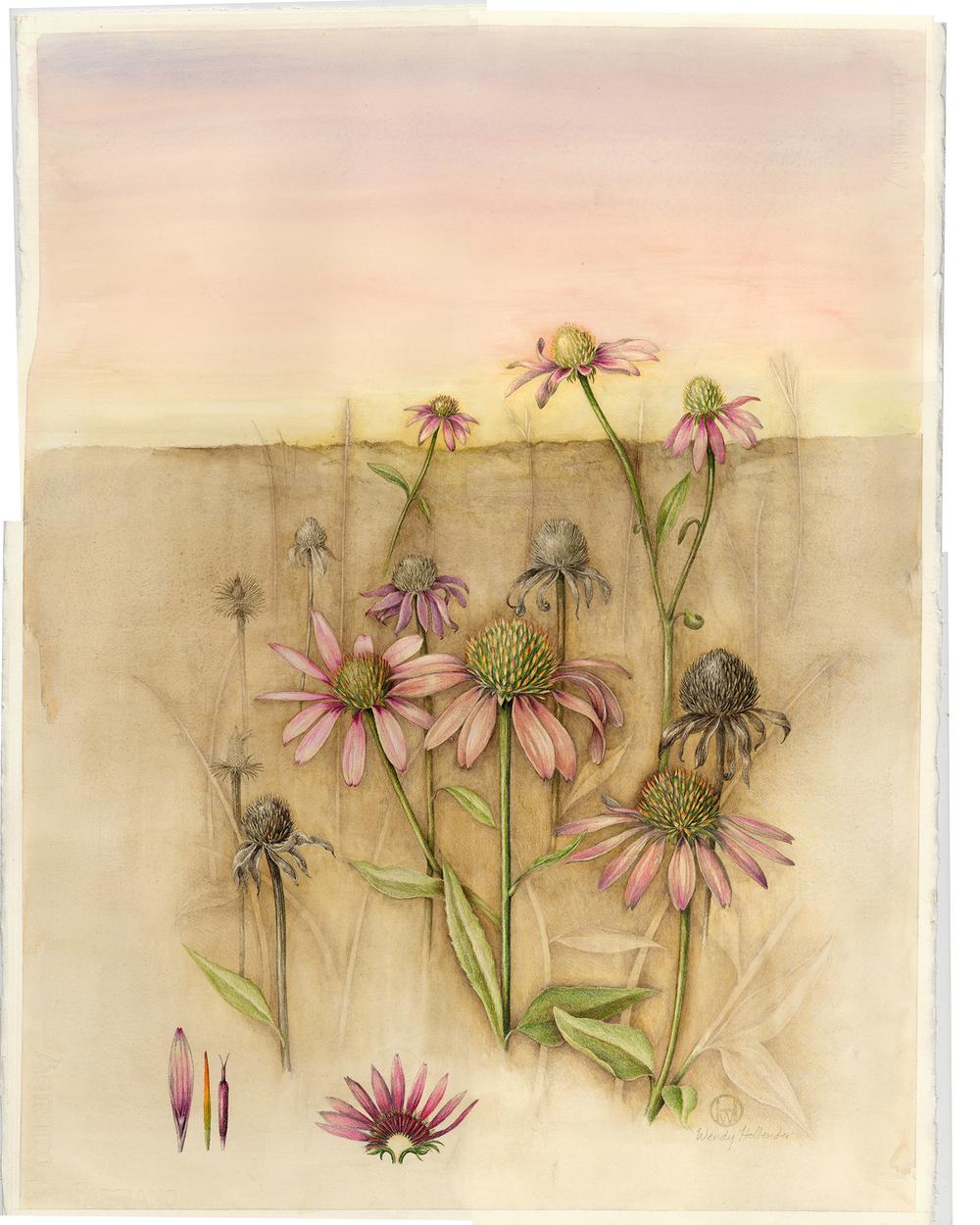 Echinacea - Echinacea purpurea