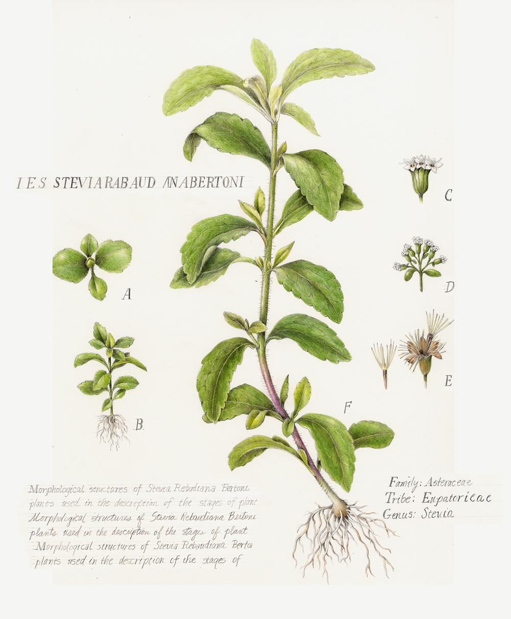 published illustrations botanical artist illustrator. Black Bedroom Furniture Sets. Home Design Ideas