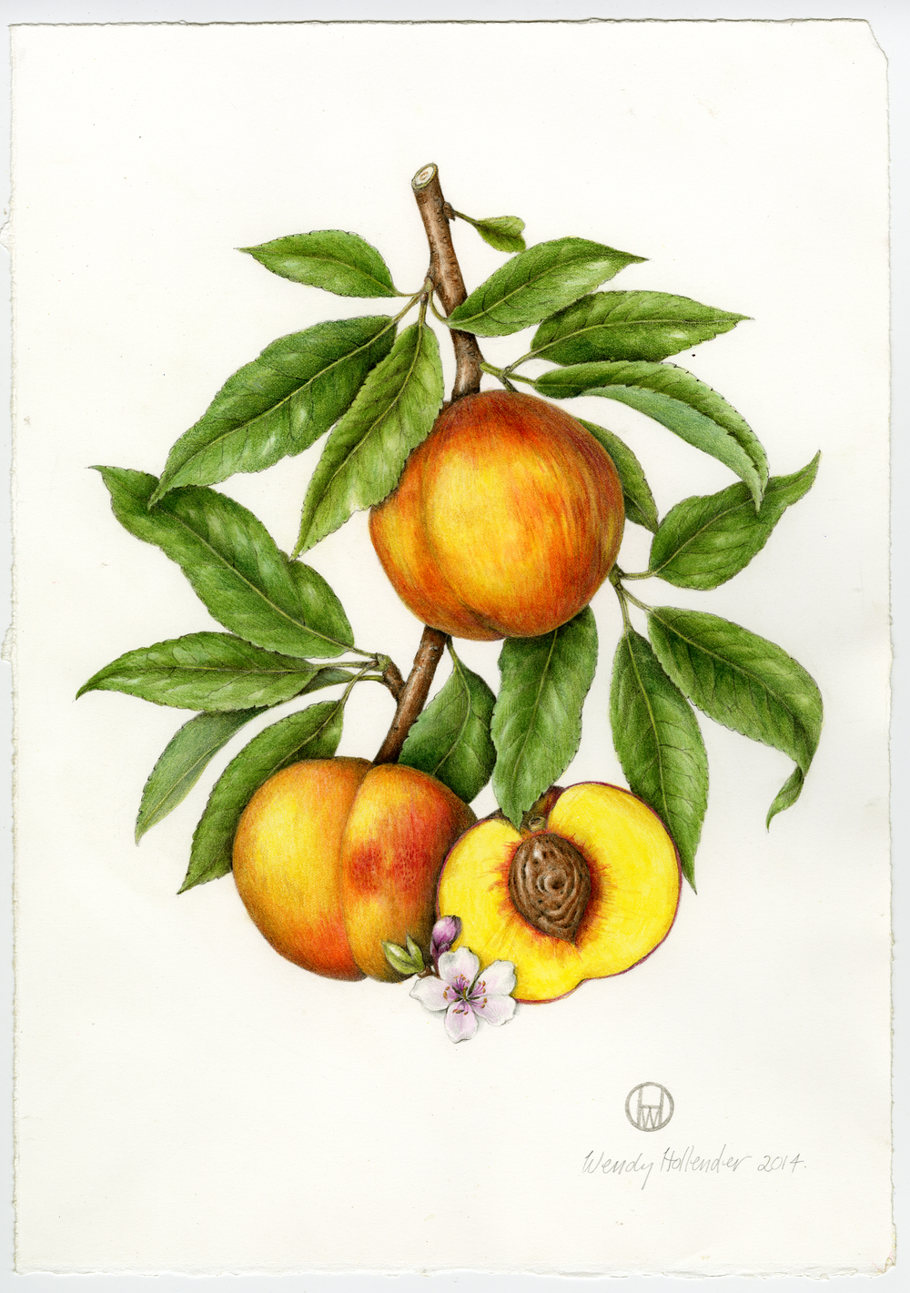 Bramble & Vine: Original Illustration of Peach